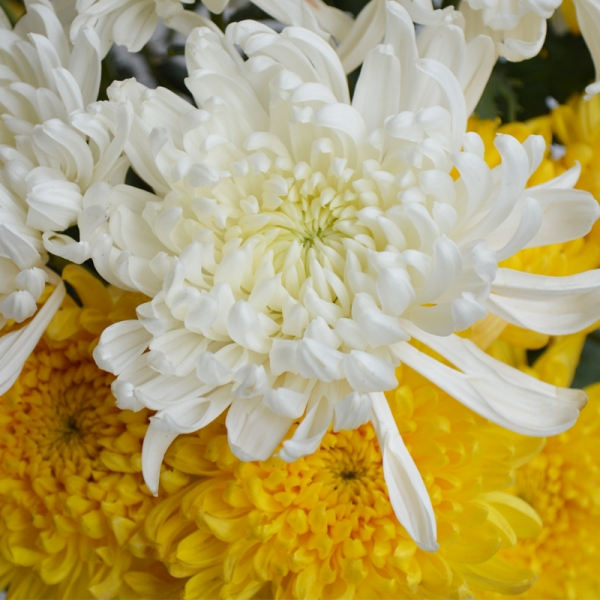 Bunchary Wrapped Chrysanthemum